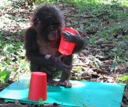 Baby chimpanzee examines red cups in Lola Ya Bonobo, Democratic Republic of C...