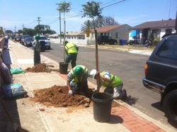 A work crew from the Urban Corps plants street trees in Linda Vista. July 7th...