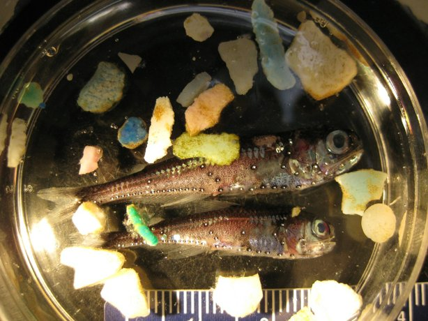 Lantern Fish are among the fish in the North Pacific that inject plastic.