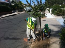 A crew from the San Diego Urban Corps plants a Crape Myrtle in front of my ho...