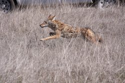 Coyotes in the wild have become less afraid of people, making attacks more pr...