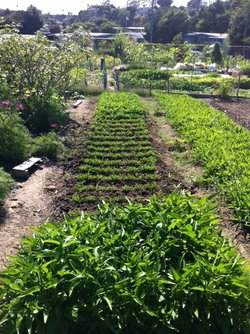 One of the plots in the Latino families' section at the New Roots farm in Cit...