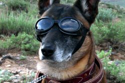Army Dog with Doggles