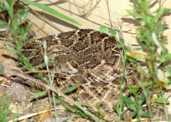 Rattlesnake photographed by Brent Myers.