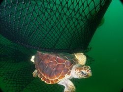 Two federal agencies say loggerhead sea turtles on West Coast are endangered.