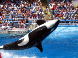 """Shamu"" performs in front of an audience at Sea World."