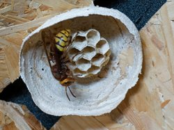 Hornet (Vespa crabro) building a nest in a garden shed (UK).
