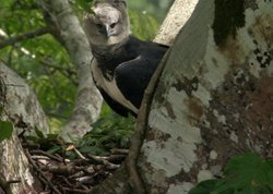 Female harpy eagle in nest