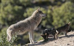 Four Mexican gray wolf pups were born at the California Wolf Center in April 2011. The pups will likely be selected for breeding or release when they're old enough.