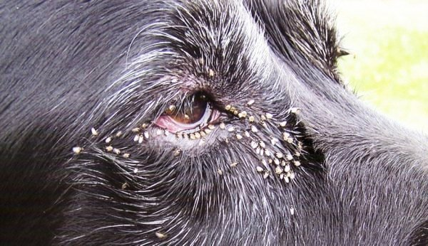 Eye gnats bugging a dog in Jacumba.
