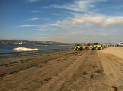 Six backhoes were used to tow the dead fin whale up on the beach at Fiesta Is...