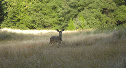 A deer wanders through a grassy meadow at Palomar Mountain State Park. The pa...