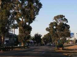 Eucalyptus along Highway 101 in Leucadia, Dec 7th 2011