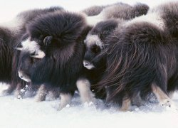Muskoxen save their energy by not moving much and stay warm with long coats lined with six inches of the warmest wool in the world.