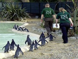 Caretakers and penguins at Penguin Beach, the London Zoo.