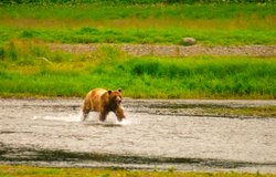 A brown bear wading for salmon on Alaska's Admiralty Island.