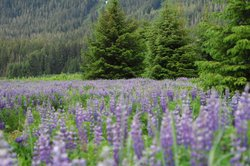 A field of lupine on Admiralty Island in southwest Alaska.