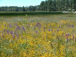 A meadow covered in wildflowers in the Cleveland National Forest in San Diego...
