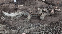 Articulated Mammoth found in the upper clay layers; called the