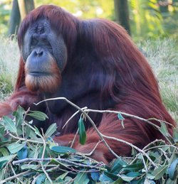 An orangutan at the San Diego Zoo in January 2012.
