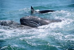 Off the coast of Monterey Bay, California, killer whales attack migrating grey whales.