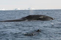 Doug Allan braves freezing conditions to film the world's longest-lived whale, the bowhead.