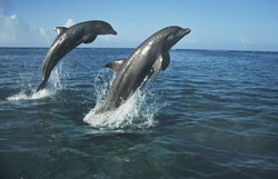 Bottlenose dolphins leaping.