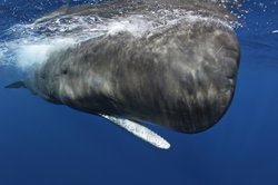 A sperm whale dives to lower depths; Dominica, Caribbean Sea.