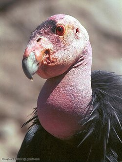 A California condor is shown at the San Diego Zoo Global Wildlife Conservancy in this undated photo.
