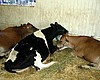 First Case Of Mad Cow Disease Discovered In Calif.