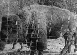 Photo, circa 1905, of a bison in a capturing facility in Yellowstone National...