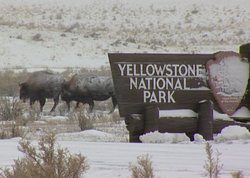 Bison in winter storm by a Yellowstone National Park sign.