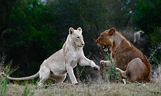 White lion cub Shinga (left) with its tawny cousin Shikota.