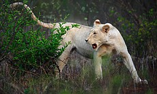 White lion cub Nkani in South Africa's Kruger Park.