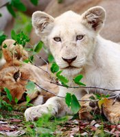 White lion cub Nkani (right) with its tawny cousin Shikota.