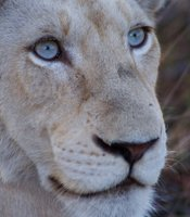 Close-up shot of white lion cub Nkani.