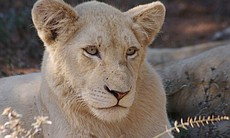 White lion cub Shinga at 18 months old.