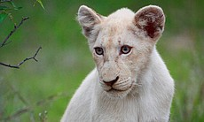 White lion cub Shinga in South Africa's Kruger Park.