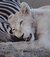 White lion cub Nkani with its zebra kill in South Africa's Kruger Park.