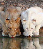 White lion cub Shinga (right) with its tawny cousin Shikota drinking water.