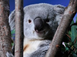 "Burly the koala made an appearance during PBS' NATURE ""Cracking the Koala Cod..."
