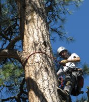 McCarty climbs a ponderosa pine tree near Lake Mary to check on a pair of bald eagle nestlings.