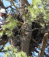 McCarty climbs into a bald eagle nest.