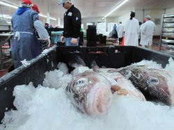 Cod waiting to be processed at the Pierfish fish processing company, New Bedford, Mass.