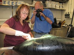 Professor Darlene Ketten dissecting a porpoise at Woods Hole Oceanographic Institution.