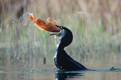 This photograph is on Sonoma Artisan Foie Gras' website as evidence of how the duck is able to consume fish whole.