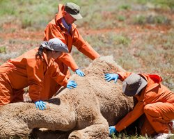 Comparative anatomist Dr. Joy Reidenberg, camel expert Geoff Manefield, and veterinary scientist Mark Evans examine the body of a camel.