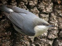 Pygmy Nuthatch is a tiny songbird, about 10 cm (4 inches) long, usually found in pines clammering acrobatically in the foliage of the trees, feeding on insects and seeds.