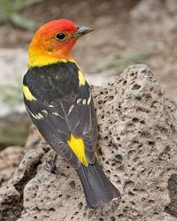 Western Tanager is a medium-sized American songbird. Its breeding range includes forests along the western coast of North America from southeastern Alaska south to northern Baja California.