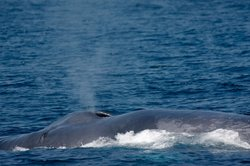 A rare and endangered blue whale feeds near Long Beach Harbor in the Catalina Channel.